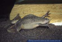 AFLUD0035 Xenopus laevis<br>