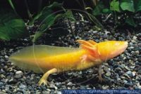ASLFT0002 Ambystoma mexicanum<br>