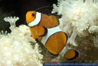 Amphiprion percula, Clown Anemonenfisch, Orange clownfish