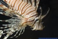 Pterois volitans, Rotfeuerfisch, Red lionfish