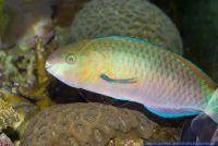Scarus quoyi,Quoys Papageilippfisch,Quoy's parrotfish