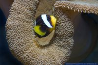 Amphiprion chrysogaster,Mauritius Anemonenfisch,Mauritian anemonefish
