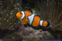 Amphiprion percula,Clown Anemonenfisch,Orange clownfish