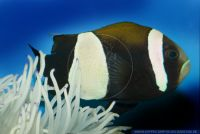 FMWFT0699 Amphiprion latezonatus<br>