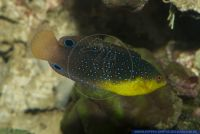 Anampses twistii,Twists Junker Gelbbrust Junker,Yellowbreasted wrasse