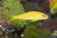 Parupeneus cyclostomus,Gelbsattel-Meerbarbe,Goldsaddle goatfish