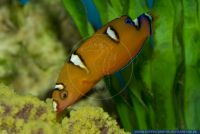 Coris gaimard,Clown-Junker,Yellowtail Coris,Gaimard's Wrasse