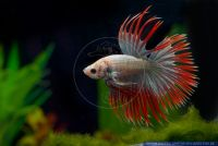 Betta splendens Crowntail,Siamesischer Kampffisch,Siamese fighter