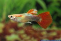 Poecilia reticulata Goldred Tuxedo,Guppy,Guppy