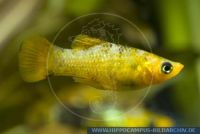 "S64910, Poecilia sphenops ""GOLD DUST"", Shenops-Molly, Normal-Flosser/Normal finned, Gold Dust Molly, Liberty Molly"