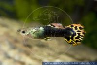 Poecilia (Lebistes) reticulata, Guppy Rundschwanz,Round Tail, grau-bunt-metall/frey multicoloured metal, Guppy,Tuxedo bunt,Tuxedo multicoloured, Zuchform/Breeding form, B,