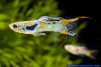 Poecilia wingei,Endler Guppy,Endler´s Guppy