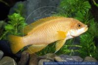 "Neolamprologus mustax""GoldYellow"""