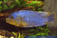 "Petrotilapia sp.""Yellowchin"""