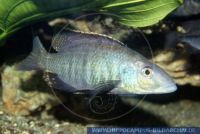 Placidochromis johnstonii