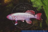 "Nothobranchius eggersi""RED"""