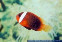MAFFT0012a Amphiprion frenatus<br>