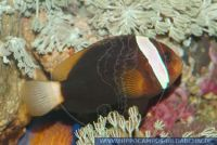 MAFFT0014 Amphiprion frenatus<br>