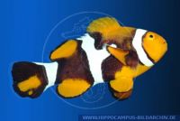 MAFFT0025 Amphiprion percula<br>