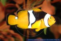 MAFFT0026 Amphiprion percula<br>