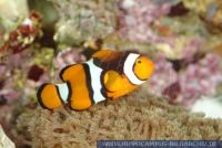 MAFFT0028 Amphiprion percula<br>