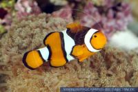 MAFFT0029 Amphiprion percula<br>
