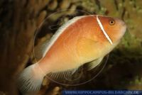 MAFFT0030 Amphiprion perideraion<br>