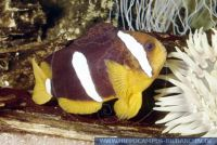 MAFMY0002 Amphiprion clarkii<br>