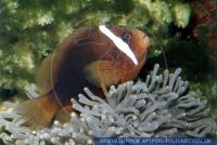 MAFMY0004 Amphiprion frenatus<br>