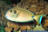MDOFT0052 Acanthurus tennenti<br>