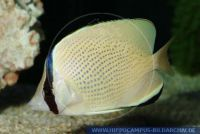 MFFFT0092 Chaetodon citrinellus<br>