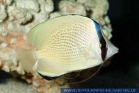 MFFFT0093 Chaetodon citrinellus<br>