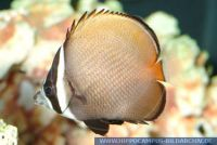 MFFFT0095 Chaetodon collare<br>
