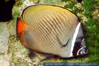 MFFFT0097 Chaetodon collare<br>