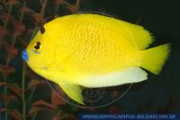 MKFFT0001 Apolemichthys trimaculatus<br>