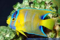 MKFFT0083 Holacanthus ciliaris<br>