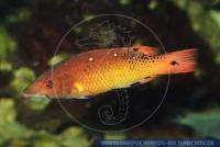 MLIFT0036 Bodianus diana<br>