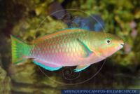 MPAFT0003 Scarus psittacus<br>