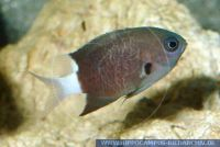 MRBFT0015 Chromis margaritifer<br>