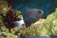 MRBGL0071 Chromis margaritifer<br>
