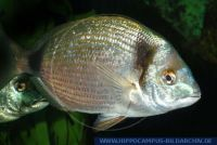 Diplodus vulgaris , Zweibindenbrasse, Common two-banded seabream
