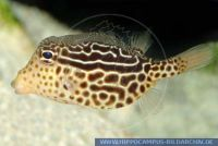 Ostracion solorensis, Solor-Kofferfisch, Reticulate boxfish