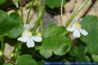Cymbalaria muralis Mauer-Zimbelkraut Kenilworth ivy, Coliseum ivy, Ivy leaf toadflax, Mother of a thousand, Pennywort