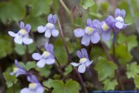 Cymbalaria muralis,Mauer-Zimbelkraut,Kenilworth ivy, Coliseum ivy, Ivy leaf toadflax, Mother of a thousand, Pennywort