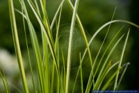 Acorus calamus Ogon,Kalmus,Calamus root, sweet flag, rat root, sweet sedge, flag root, sweet calomel
