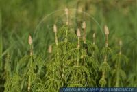 Equisetum hyemale, Winter-Schachtelhalm, Common Scouring Rush, Rough Scouring Rush.