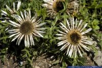 Carlina acaulesspcaulescens