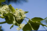 Tilia cordata,Winterlinde,Small-leaved Lime