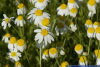 Anthemis ruthenica()