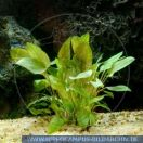 PWP0082 Cryptocoryne spec. Indonesa<br>